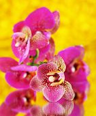 Beautiful orchid on yellow background