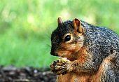 Squirrel Eating Close Up