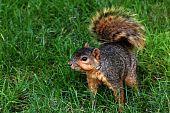 Squirrel Squatting On Grass
