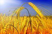 golden cereal field closeup