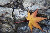 Yellow Maple Leaves On The Stone