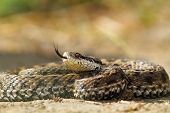 image of venom  - beautiful venomous european snake meadow viper  - JPG