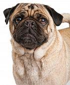 Close-up Of A Pug Dog