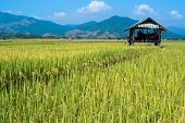 Rice Field Shelter