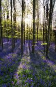 picture of harebell  - Beautiful morning in bright Spring bluebell forest - JPG