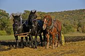 Team of three horses plowing oats stubble