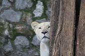 White Lioness Looks Hidden Behind The Tree