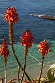 Red Hot Poker Flowers