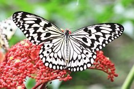 foto of animal eyes  - Large Tree Nymphs butterfly and flowers - JPG