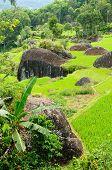 pic of nasi  - Green rice terraces in Tana Toraja South Sulawesi Indonesia - JPG
