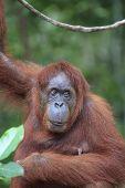 pic of orangutan  - Orangutan - JPG