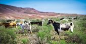 pic of pastures  - Goats - JPG