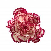 pic of carnation  - vareigated carnation flowers isolated on white background - JPG