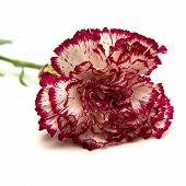 stock photo of sark  - vareigated carnation flowers isolated on white background - JPG