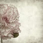 stock photo of carnation  - textured old paper background with variegated carnation flower - JPG