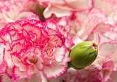 pic of carnation  - variegated carnation flowers macro natural floral background - JPG