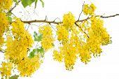 image of vishu  - golden shower yellow flora isolate white background - JPG