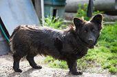 stock photo of mongrel dog  - Sad black mongrel dog tied to chain - JPG