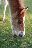 picture of eat grass  - Closeup of beautiful colt eating grass on field - JPG