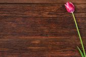 picture of bittersweet  - Pink tulip flower on old wooden table background - JPG