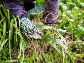 pic of weed  - Woman weeding in the garden and she use protective gloves