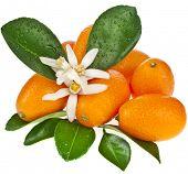 pic of kumquat  - Stack of kumquat citrus fruit flowering close up isolated on white background - JPG