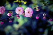 image of garden eden  - Branch of a pink wildrose flower with bokeh background - JPG