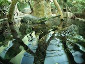 stock photo of crocodilian  - Two Gavialis gangeticus in an artificial pond - JPG