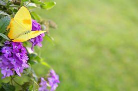 stock photo of heliotrope  - A yellow colored Orange - JPG
