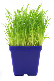 picture of green-blue  - bright blue and green colors from a container of indoor grass for cats.