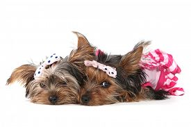 picture of girlie  - Cute Yorkshire Terrier Puppies Dressed up in Pink - JPG