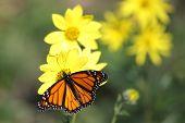 Monarch Butterfly (danaus Plexippus) On Woodland Sunflowers