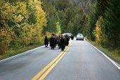 Buffalo In The Road In Yellowstone