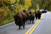 Buffalo In The Road In Yellowstone