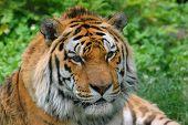 Cute Tiger