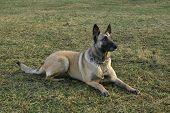 Belgium Shepherd.