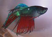 Bill The Beta Fish