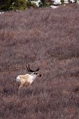 foto of caribou  - A caribou traverses a field in Denali National Park - JPG