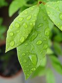 picture of bay leaf  - Bay leaves with water droplets - JPG