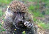 Baboon Dentistry
