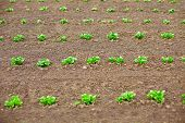 Young Potato Shoots In On Spring Tillage