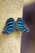 Blue Butterfly On Tree