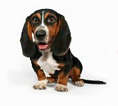 stock photo of happy dog  - a bassett hound sitting on a white background - JPG