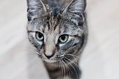 Young Beauty Cat poster