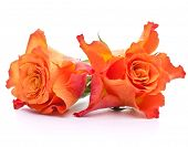 Orange roses  isolated on white background cutout