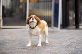 Cute Spaniel Dog With Collar Waiting Owner By The Door. Obedient Pet In City. Pets Are Not Allowed I poster