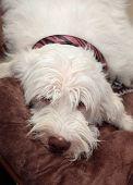 Italian Spinone Dog Resting