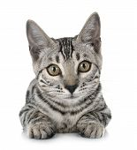Bengal Cat In Front Of White Background poster