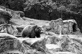 Spaces Not Cages. Large Brown Bear Animal On Natural Landscape. Wild Bear Animal. Bear Or Ursus Arct poster