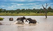 Young Elephants Playing In Water, Kruger National Park, South Africa. poster